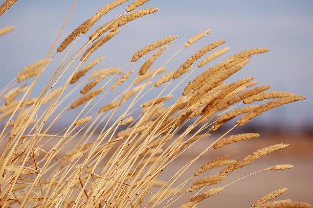 Photographie d'un champ de roseaux se pliant au vent.